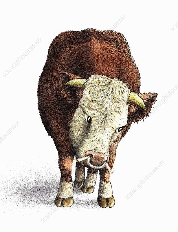 Snorting Hereford bull, illustration