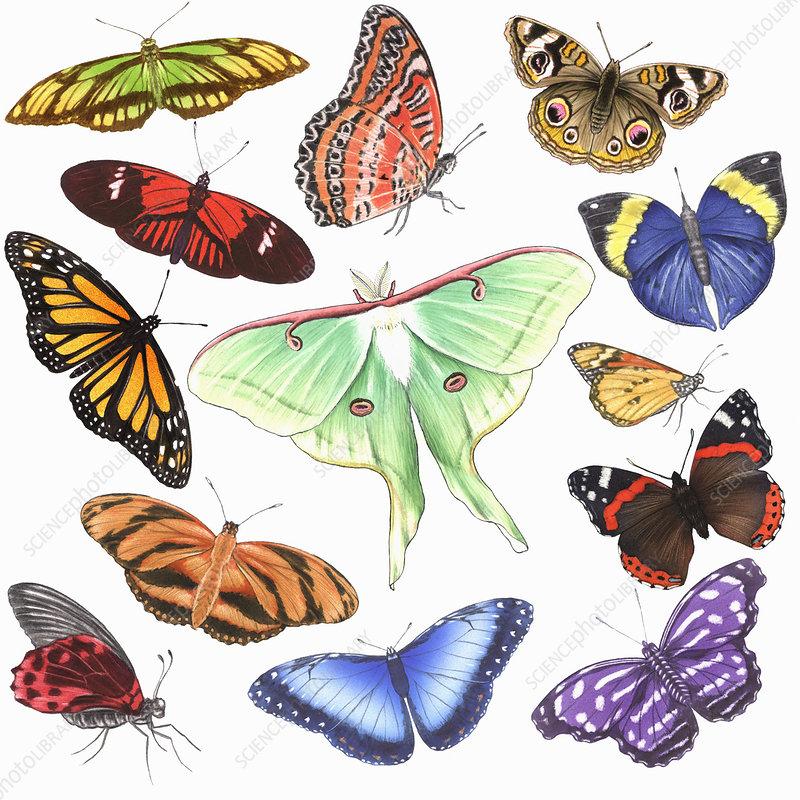Butterflies, illustration