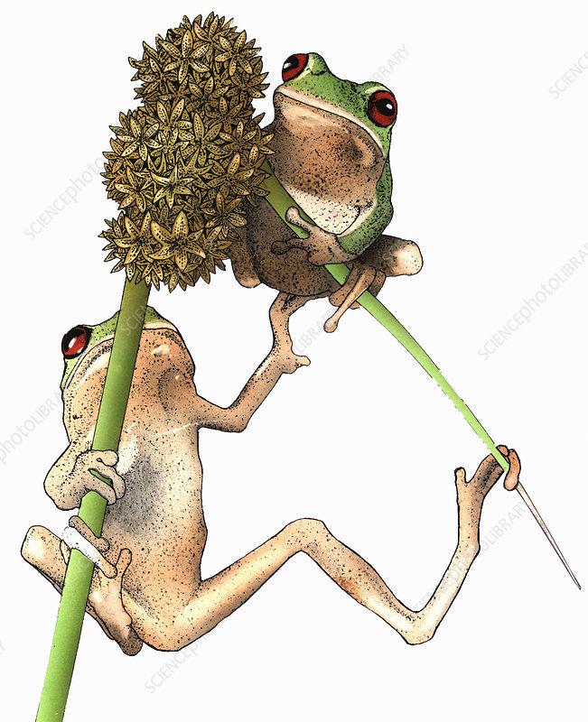Two tree frogs on plant stalks, illustration
