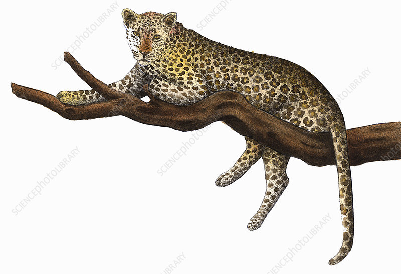 Leopard relaxing on branch, illustration