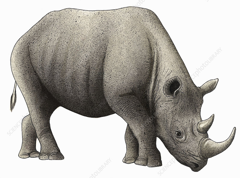 Black rhinoceros, illustration