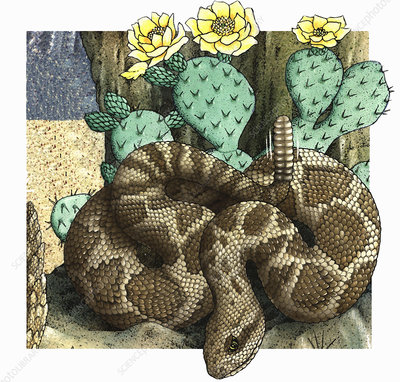 Rattlesnake coiled near cactus, illustration