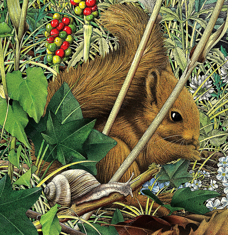 Red squirrel and snail, illustration