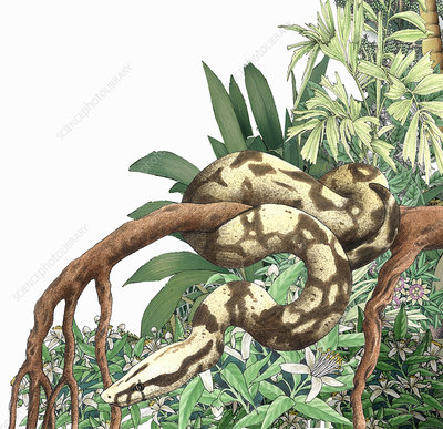 Boa constrictor coiling on branch, illustration
