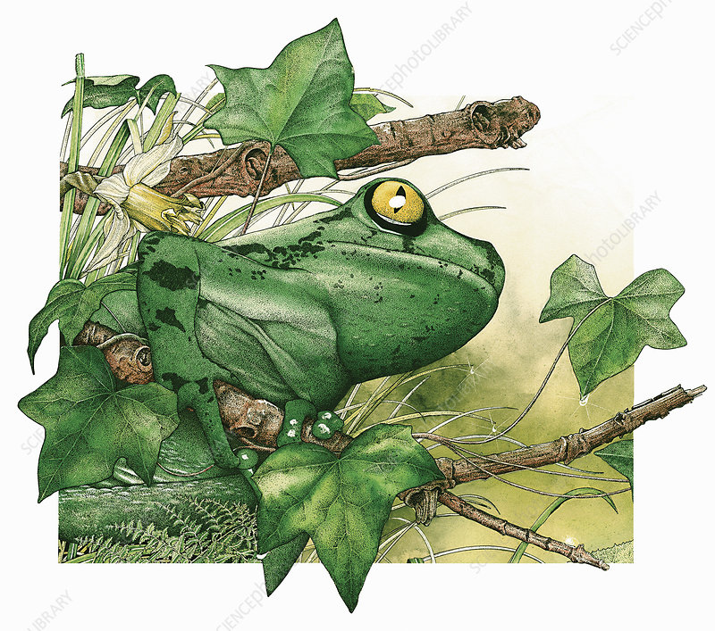 Tree frog on twig in foliage, illustration
