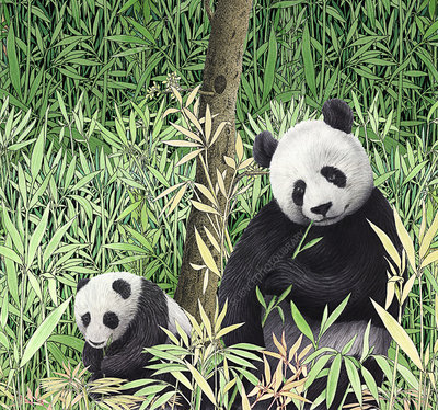Adult and baby pandas eating bamboo, illustration