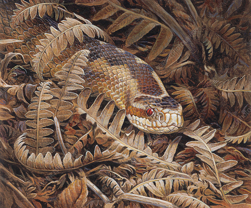 Adder snake camouflaged, illustration