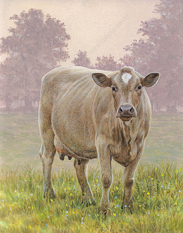 Brown cow in meadow looking at camera, illustration