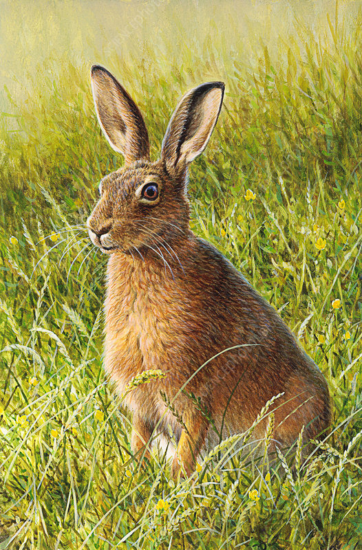 Brown hare sitting in grass, illustration