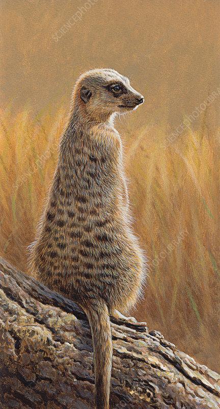 Meerkat sitting on log, illustration