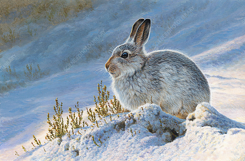 Mountain hare in snow, illustration