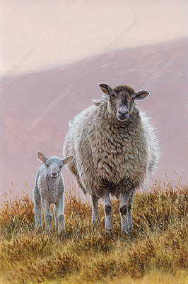 Sheep with lamb in moorland, illustration