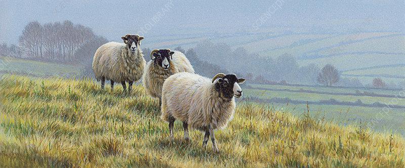 Blackface sheep in countryside, illustration