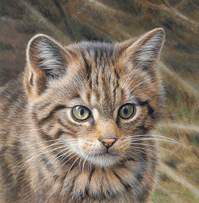 Wild cat, illustration