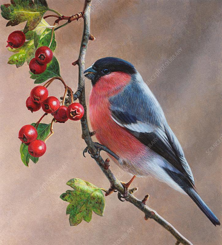 Bullfinch, illustration
