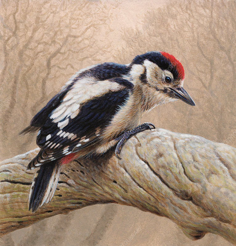 Great spotted woodpecker, illustration