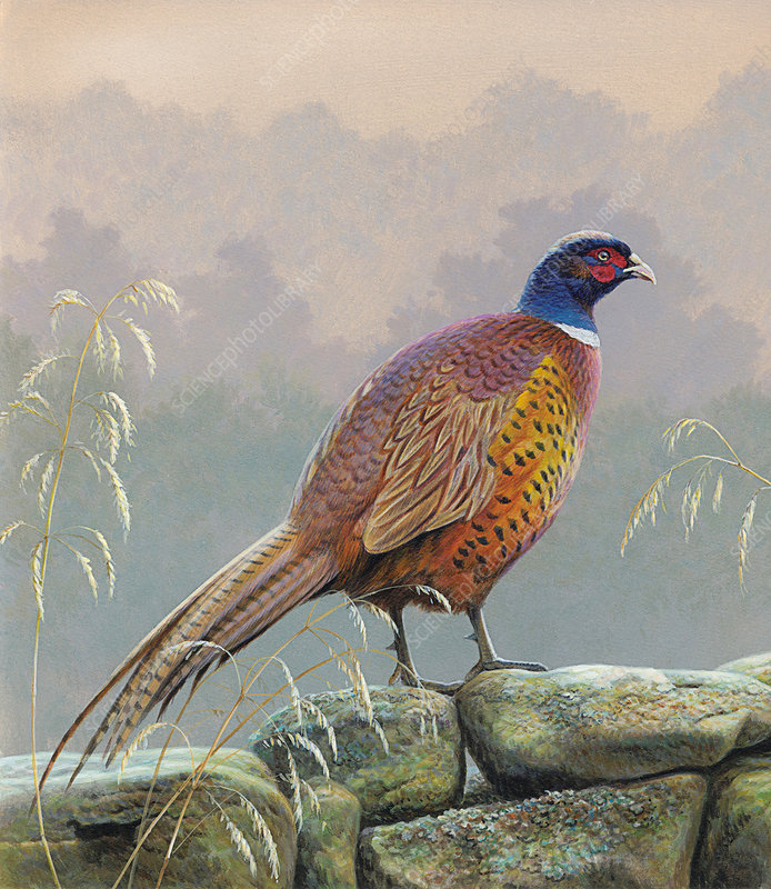 Pheasant standing on stone wall, illustration