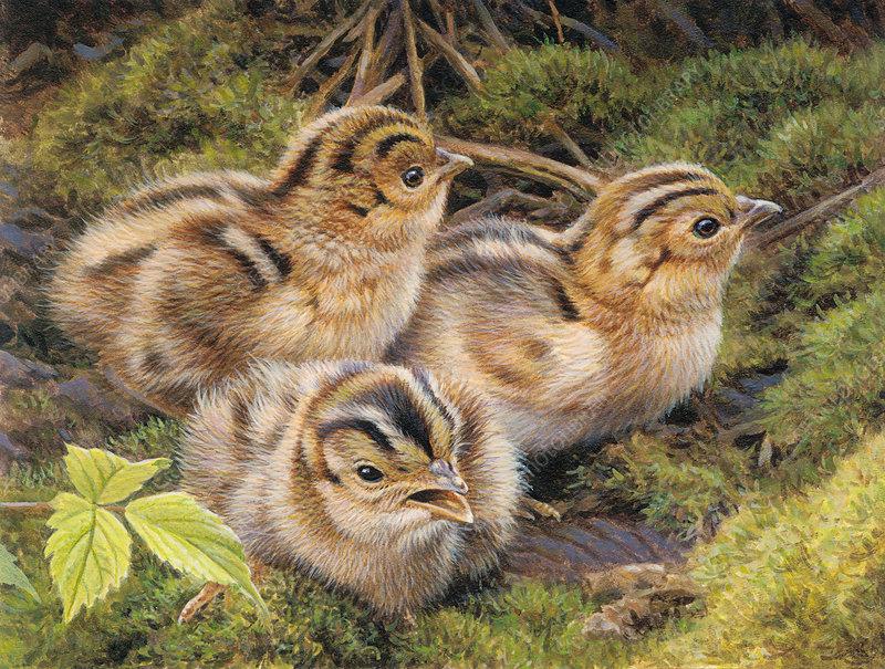 Three pheasant chicks in grass, illustration