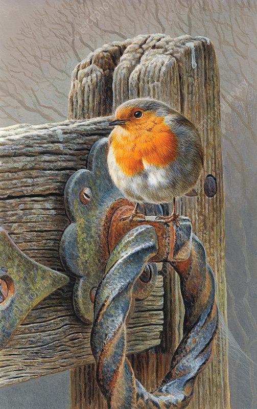 Robin perching on gate, illustration