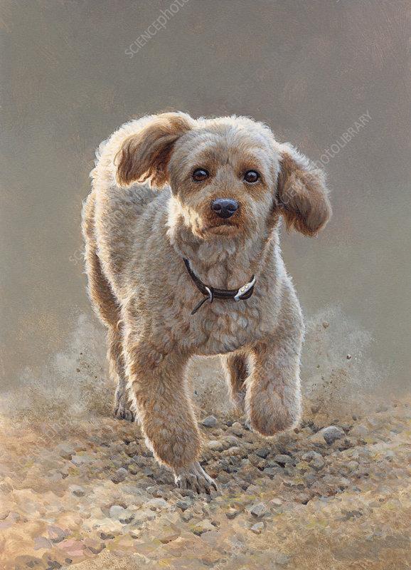 Apricot miniature poodle running illustration
