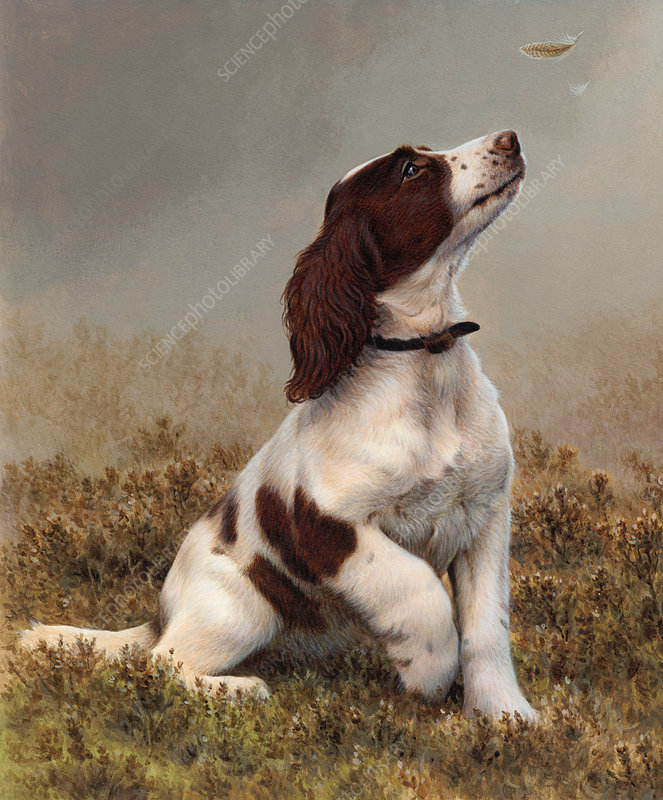 Springer spaniel looking up at feather, illustration