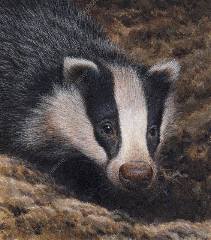 Badger, illustration