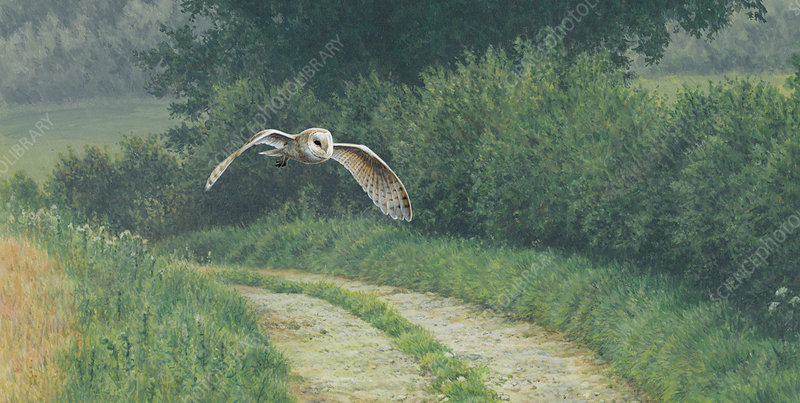 Barn owl flying over rural lane in countryside, illustration
