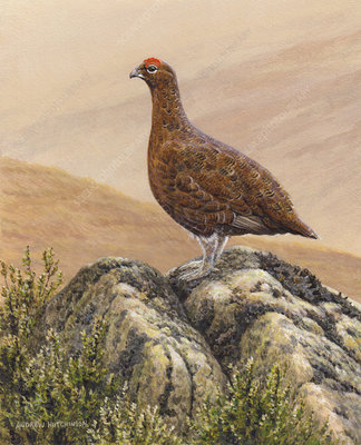 Grouse standing on rock in moorland, illustration