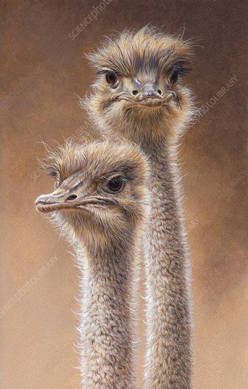 Head and neck of two ostriches, illustration