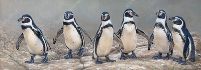 Humboldt penguins standing in a row, illustration