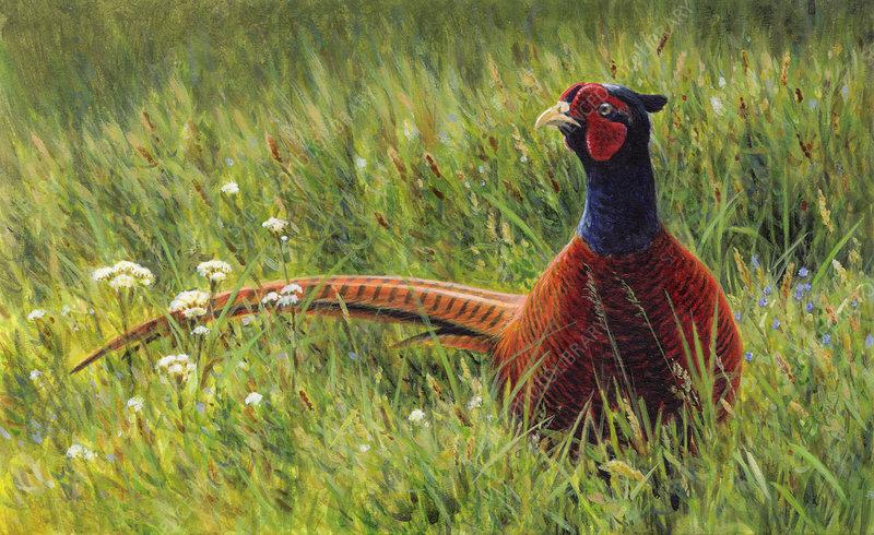Male pheasant in wildflower meadow, illustration
