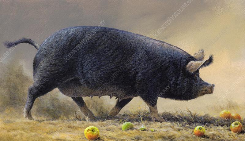Black pig walking surrounded by apples, illustration