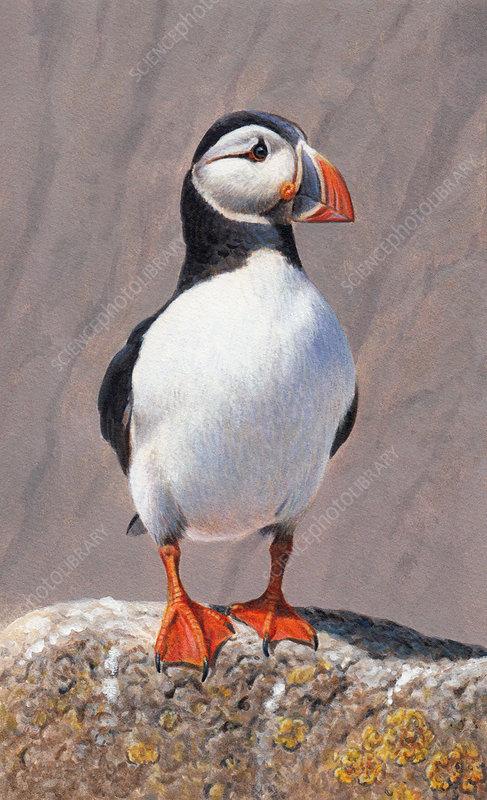 Atlantic puffin standing on rock, illustration