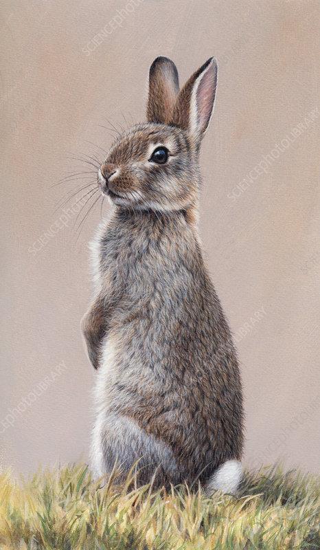 Alert rabbit sitting up on hind legs, illustration