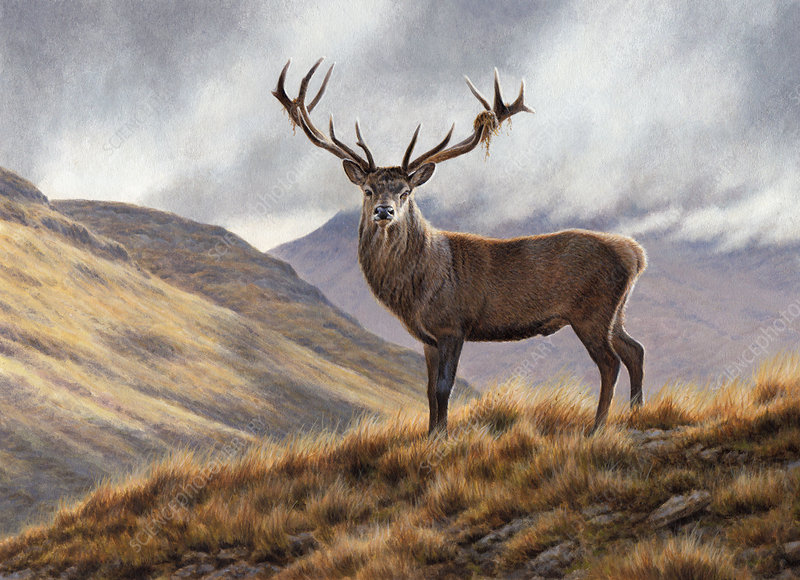 Red deer stag in upland landscape, illustration