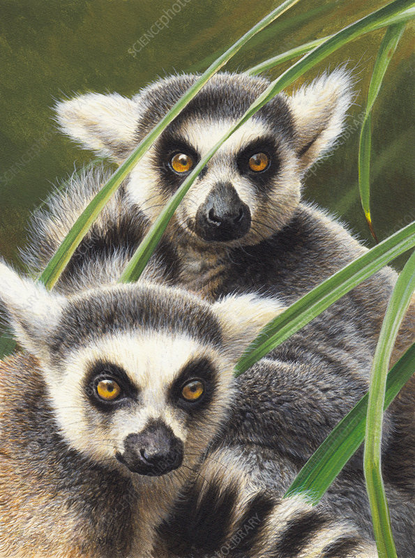 Two ring-tailed lemurs, illustration