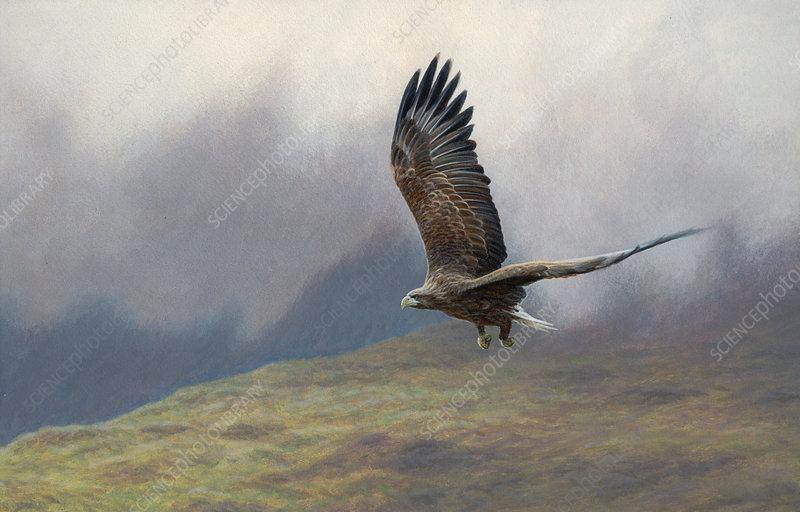 White-tailed sea eagle flying, illustration