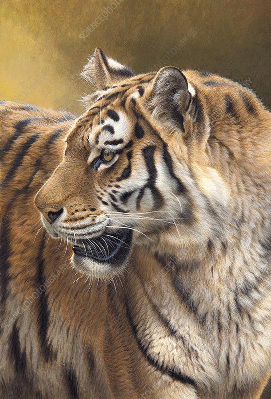 Siberian tiger looking round, illustration