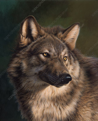 Timber wolf looking round, illustration