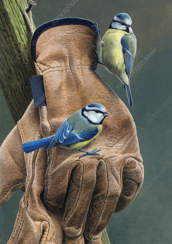Two blue tits perched, illustration
