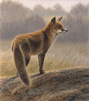 Fox in countryside in autumn, illustration