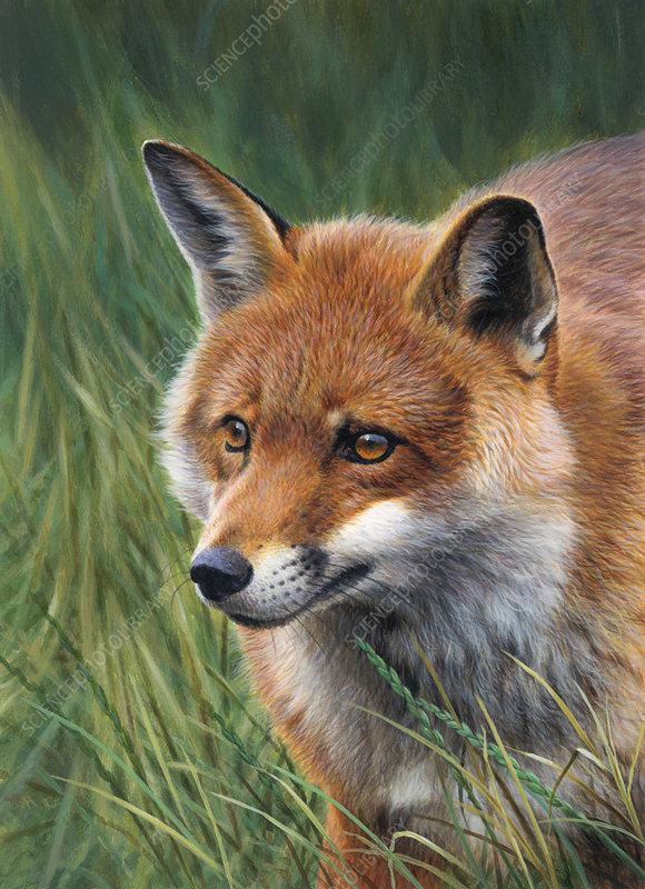 Fox stalking in long grass, illustration
