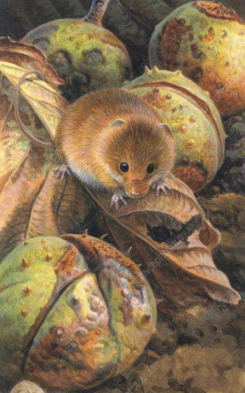 Harvest mouse among autumn leaves, illustration