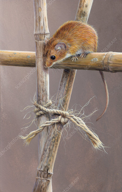Harvest mouse looking down from cane, illustration