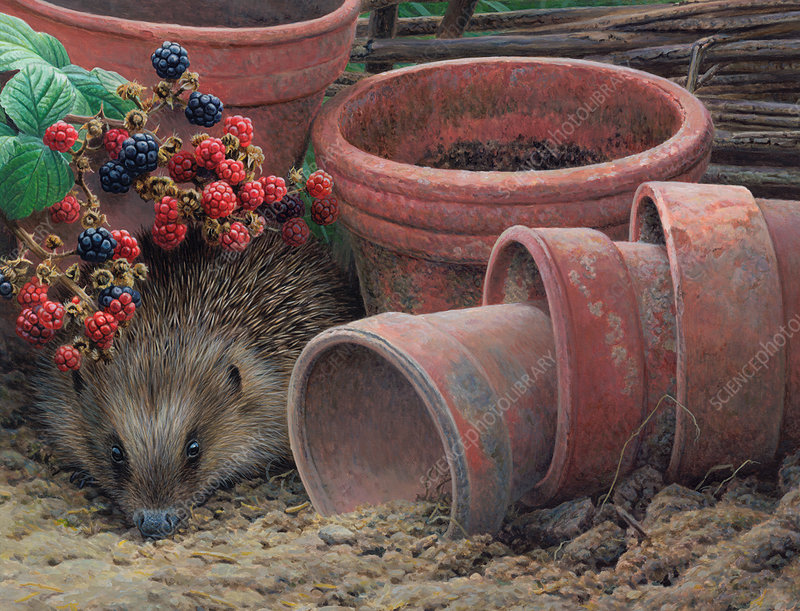 Hedgehog peeking out, illustration