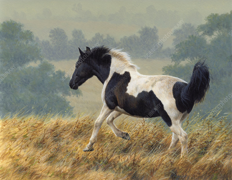 Piebald pony running in countryside, illustration