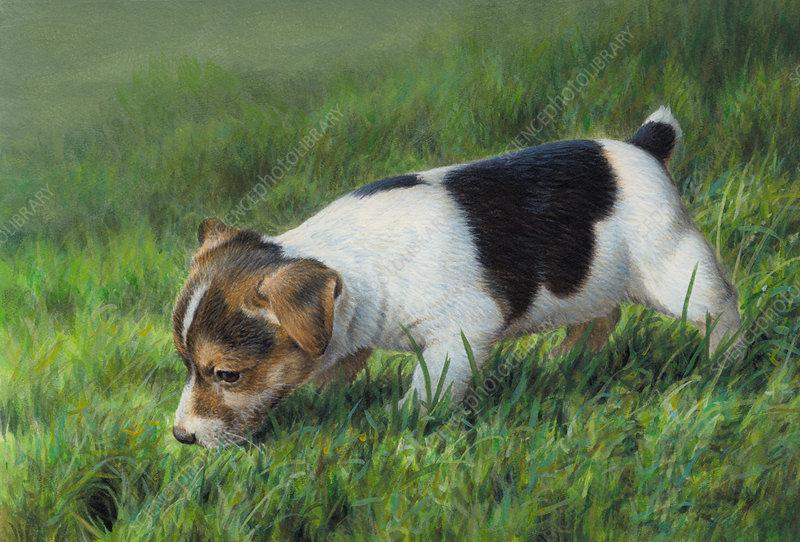Jack Russell puppy dog, illustration