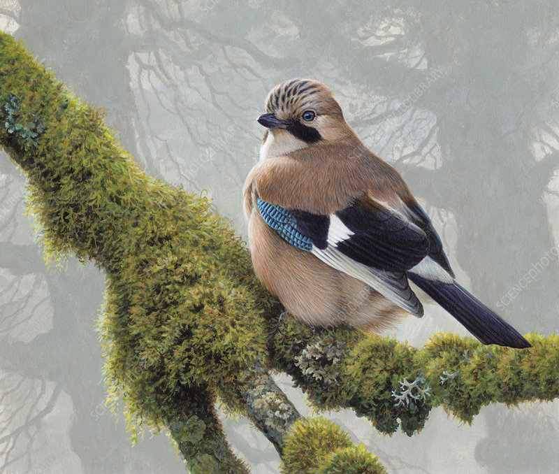 Eurasian jay perched on lichens on tree branch, illustration