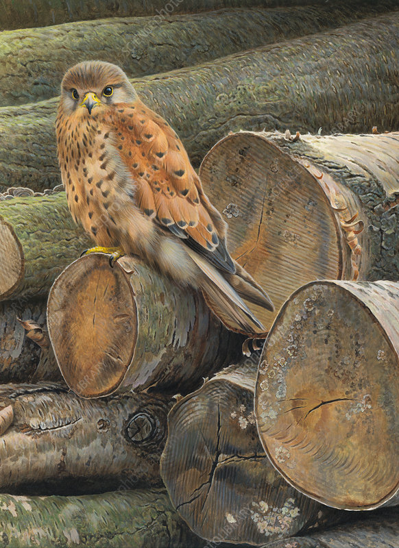 Common kestrel perched on pile of logs, illustration