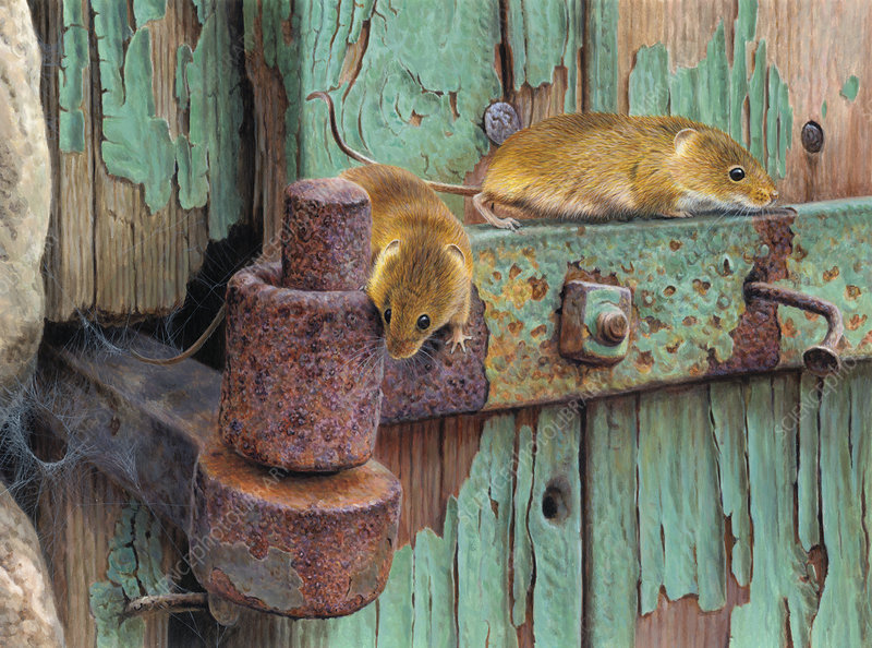 Two harvest mice, illustration
